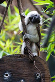 One Cotton-top Tamarin Monkey Royalty Free Stock Photography
