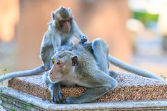 One Couple of Monkey (Crab-eating macaque) Stock Photo