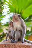 One Couple of Monkey (Crab-eating macaque) Stock Image