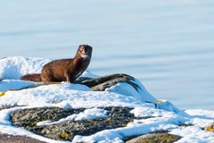 One courious mink in winter season. One sunlit courious mink on some rocks in the winter season at the swedish island Oland royalty free stock photo