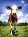 One cow Royalty Free Stock Images