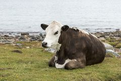 One cow brown and white at the beach Stock Image