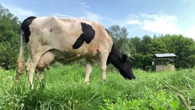 A black and white cow with a crooked horn resting in a pasture. stock video footage