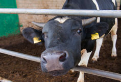 One cow on a farm. Dairy cow. Royalty Free Stock Photography