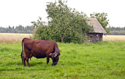 One cow on farmland field grass in old village Stock Photos