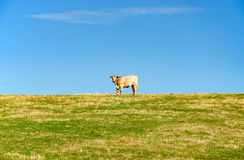 One cow on the field with blue sky Royalty Free Stock Image