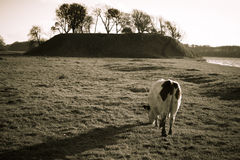 One cow on grass Royalty Free Stock Photos