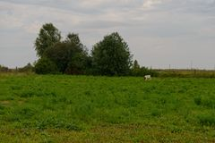 One cow grazes on a glade. On a summer cloudy evening stock image