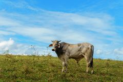 One cow grazes on a green meadow against a blue sky. Cattle breeding Stock Image