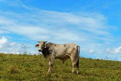One cow grazes on a green meadow against a blue sky. Cattle breeding Stock Photo