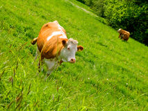 One cow in green field Royalty Free Stock Photography