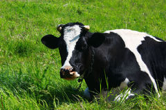 One  cow resting on green grass in Sunny day. One beautiful cow resting on green grass in Sunny day Stock Images