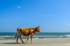 One cow spotted walking on a sandy beach. Horizontal view of a c Royalty Free Stock Photography