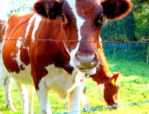 One cows behind the fence Royalty Free Stock Photos