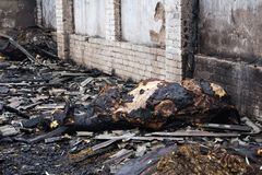 One of cows in ruins of a fully burned farm, where died more than 30 cows, 23.10.2018, in Koknese, Latvia. Ruins of a fully burned farm, where died more than 30 stock images