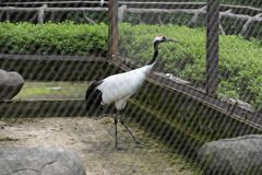 Grus japonensis. It is one of the cranes, large wading birds, with a body length of 120-160 cm. Long neck and foot, mostly white, bright red head, black throat Royalty Free Stock Image