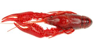 One crawfish isolated Stock Images