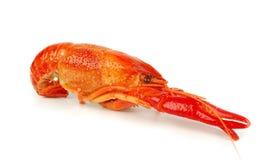One crawfish isolated Royalty Free Stock Image