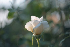 One creme rose with blurry background Royalty Free Stock Photography