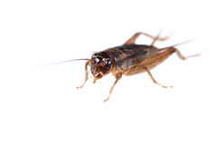 one cricket isolated on white Stock Photo