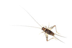 One cricket isolated on white Stock Images