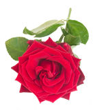 One crimson red rose Royalty Free Stock Photo