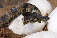 One croc curled up inside egg. One Nile Crocodile curcled up inside it's egg about to hatch Stock Photos