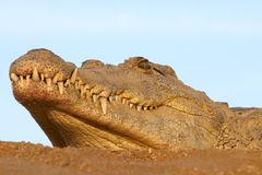 One croc face against the sky. One Nile Crocodile laying in the sand with head against blue sky Stock Photo