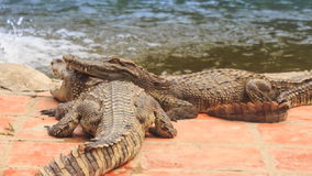 One crocodile puts head on other on edge of pond in park stock footage