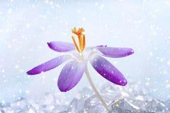 One Crocus flower Royalty Free Stock Image