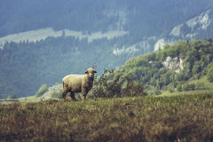 One curious stray sheep Royalty Free Stock Photography