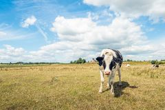 One curiously looking young black and white spotted cow in the g. Rass of the flood plains of the Dutch river Waal in summertime. Due to the prolonged dry period royalty free stock photography