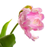 One curly tulip Royalty Free Stock Images