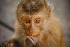 One cute baby monkey eating Stock Images