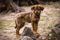 One cute brown small dog with sad looking. Mountains of Nepal royalty free stock photos