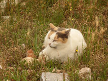 One Cute Calico Cat Napping on the Field of Acropolis, Athens Stock Image