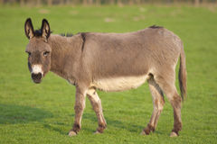 One cute donkey Stock Images