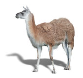 One cute Lama Stock Photos