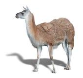 One cute Lama Stock Photos