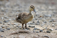 One Cute Little Duckling Stock Photography