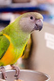 One cute little green and yellow parrot Royalty Free Stock Photo