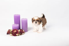 One cute little shih-tzu puppy with holliday candle. Isolated on the white background Royalty Free Stock Images