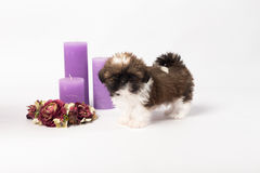 One cute little shih-tzu puppy with holliday candle. Isolated on the white background Stock Images