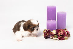 One cute little shih-tzu puppy with holliday candle. Isolated on the white background Stock Photo