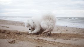 One cute samoyed dog is digging sand on the beach while another one is running around then pushes the first one. Two. Adorable samoyed dogs playing on the beach stock video
