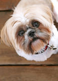 One Cute Shih Tzu Royalty Free Stock Images