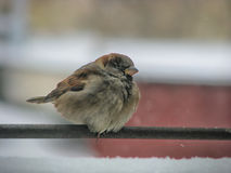 One cute sparrow Royalty Free Stock Photos
