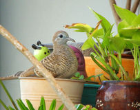 One cute young Zebra Dove relaxing on the planter Royalty Free Stock Images