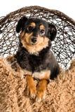 One dachshund mini Royalty Free Stock Image