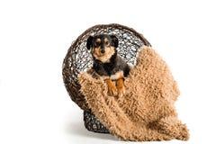 One dachshund mini Stock Image